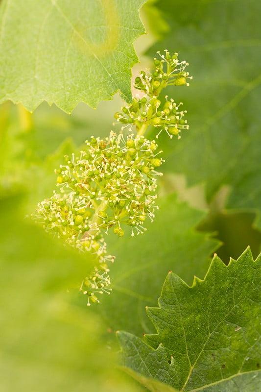 Grappe Floraison © David Bouscarle